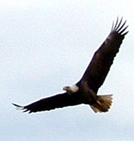 Picture of a Bald Eagle